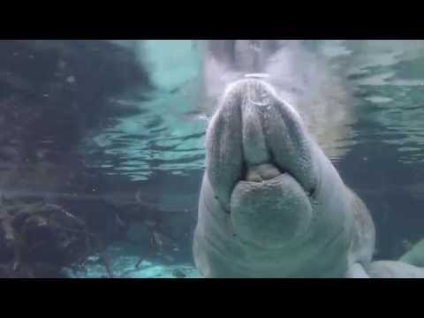 Manateemania - Snorkeling with Manatees at Crystal River, Crystal River,Florida,USA
