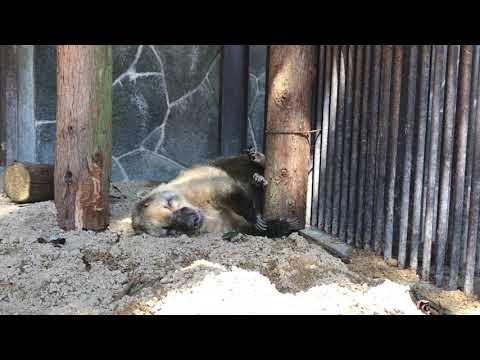 【池田動物園公式】アカハナグマの寝相