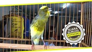 BRANDY WATCH : Scotch Fancy Canary Singing at TJM Canary Shop Bogor
