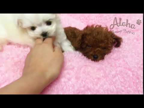 Tiny Teacup Maltese Puppies For Sale - Leo