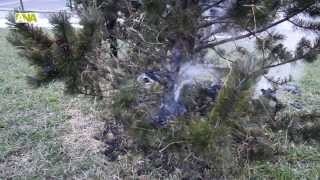 preview picture of video 'Canillo crema l'arbre del gener que indica que enguany 'l'hivern encara serà llarg''