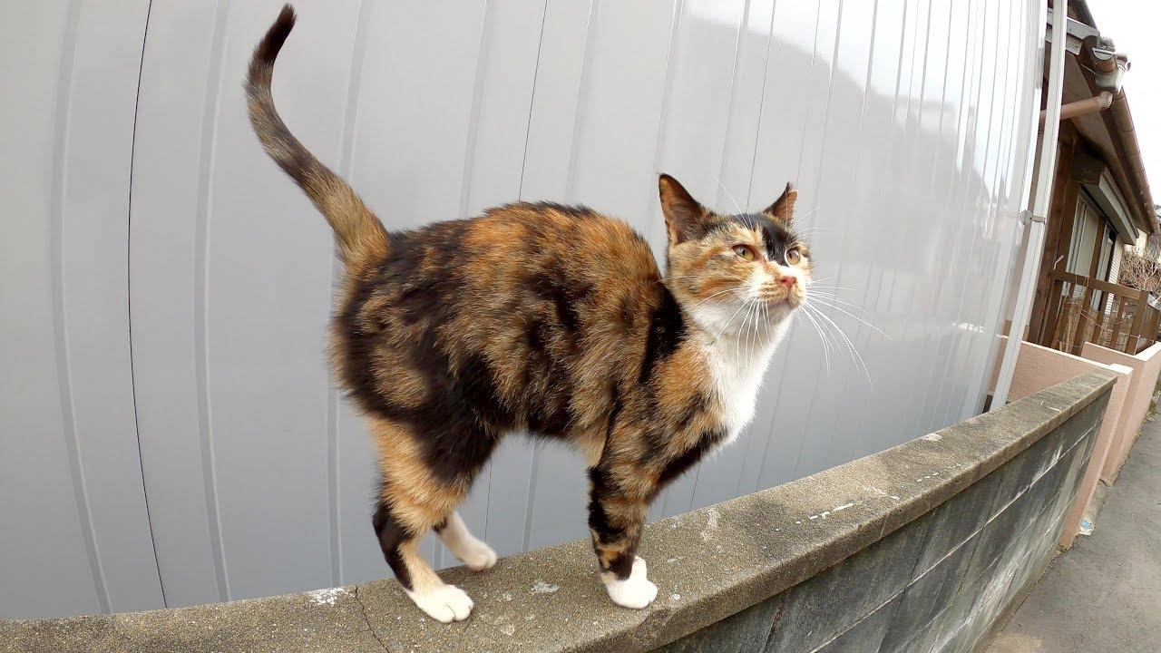 茶トラ猫をモフり終わると、三毛猫も順番待ちをしていた #猫 #cat #野良猫 #茶トラ #モフ #三毛猫 #順番