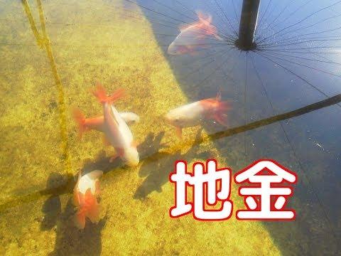 【4K】地金(金魚)Goldfish