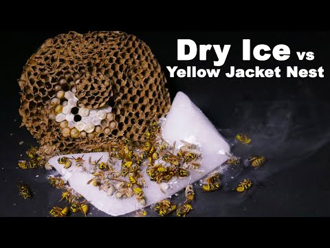 Destroying A Dangerous Yellow Jacket Nest With Dry Ice. Mousetrap Monday