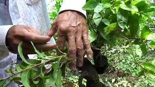 Cách Quấn Dây Tạo Dáng Cho Cây Mai Bonsai  Design For Bonsai Apricot Trees