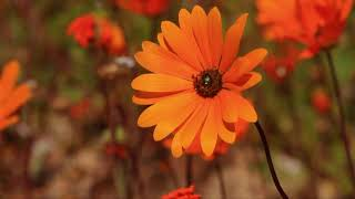 Namaqualand Flowers - Africas Wild Wonders - The Secrets Of Nature