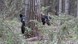 Momma Black Bear Charges!!