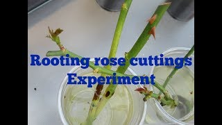 Rooting Rose Cuttings Experiment