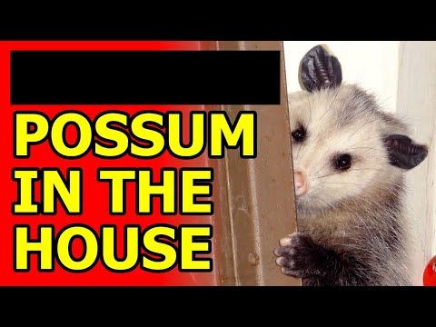 A possum breaks into a guy's house so he pokes it with a stick