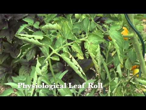 Video Tomato Diseases
