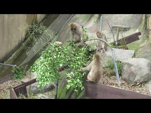 ニホンザルに 木の枝を差し入れ (2020.07.08撮影)