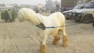 Download Bakra Mandi Pakistan Mundri Chatri Rajan Puri Bakre