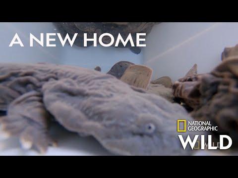 Returning Hellbender Salamanders to the Wild   Secrets of the Zoo