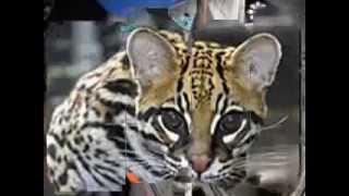the endangered texas ocelot