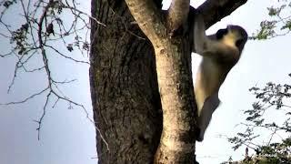 Мартышка жуёт смолу дерева как мы в детстве Vervet monkey is eating sweet resin of tree in Juma :)