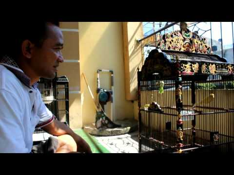Video Perawatan Kenari Senopati Yr bersama Reds Devil/ H Samsulhadi Yogyakarta