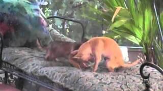 My Chihuahuas
