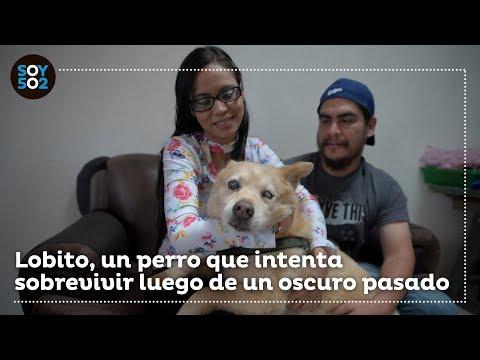 Lobito, el perrito que sobrevivió a torturas y experimentos