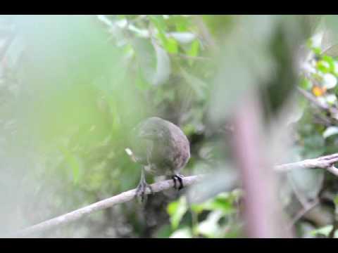 Chachalaca - Ortalis cinereiceps