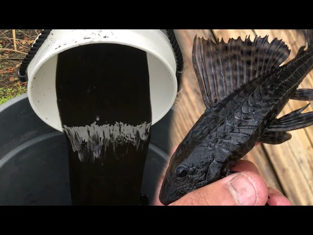 Black TAR WATER Fish SAVES KOI POND From Pond invasion!