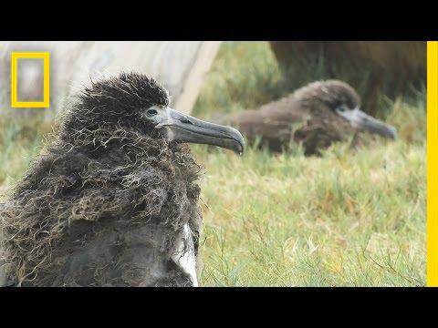 Saving Albatross Chicks From Tsunamis and Rising Seas | National Geographic thumbnail