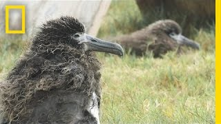 Saving Albatross Chicks From Tsunamis and Rising Seas | National Geographic