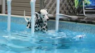Далматины, Dalmatian Sheamus swimming in the pool