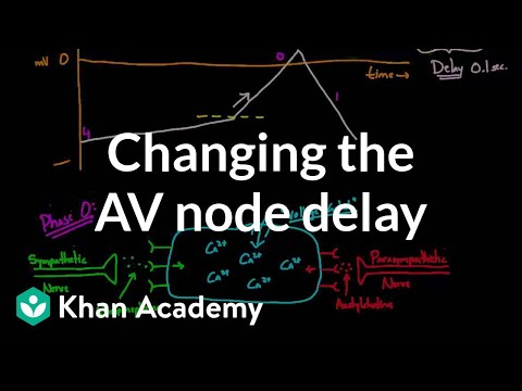 Changing the AV node delay - chronotropic effect (video