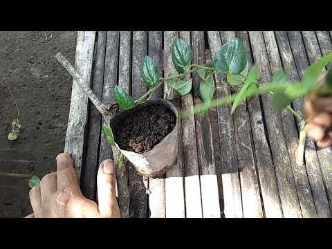 Cara menanam sirih hijau dengan mudah dan hidup.