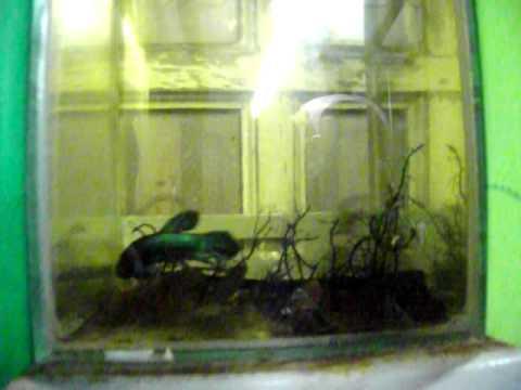 ผู้เข้าพักจำนวนหนอนในปลา