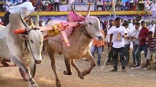 Stud Bulls Run   Mudhol Bullock Cart Race