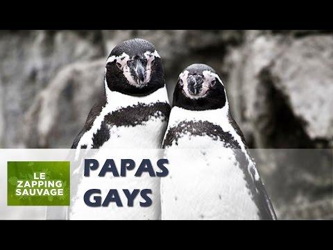 Un couple de manchots mâles adopte un petit !