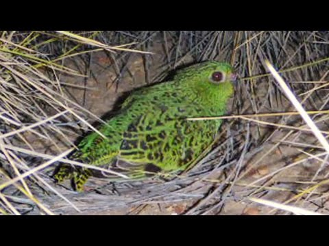 The Night Parrot