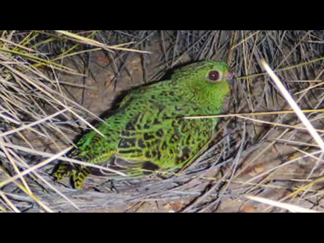 The Night Parrot (Pezoporus occidentalis) rediscovered