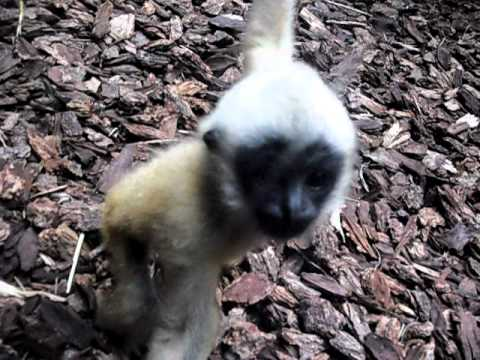 Baby Monkey Interacting With Camera