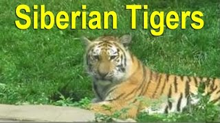 Most Endangered Species & Threatened Species: Siberian Tigers on the Endangered Species List