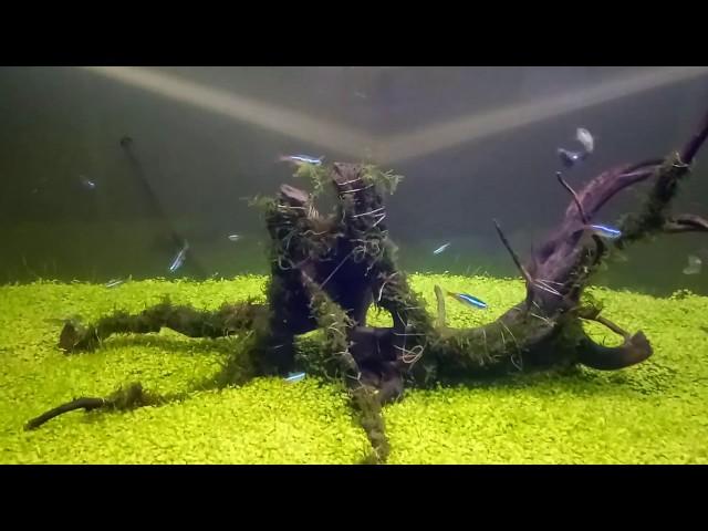 AQUASCAPE - Ikan Neon Tetra vs Ikan Guppy