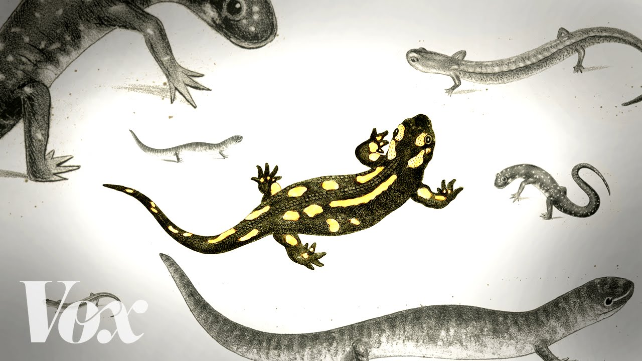 Save the salamanders, unsung heroes of the forest thumbnail