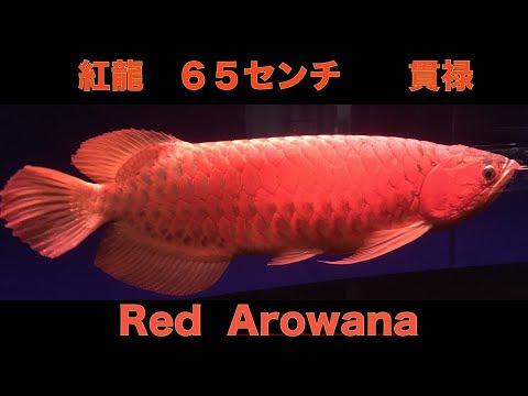 マニア入魂 紅龍 レッドアロワナ 65センチ 貫禄の銘魚 「アクアリウム」「RED AROWANA」