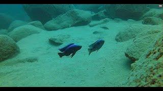 Yofu Bay Likoma Island - Lake Malawi - African Cichlids - HD Underwater Footage