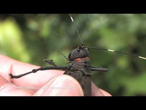 昆虫の威嚇 Threat Posture of Insects