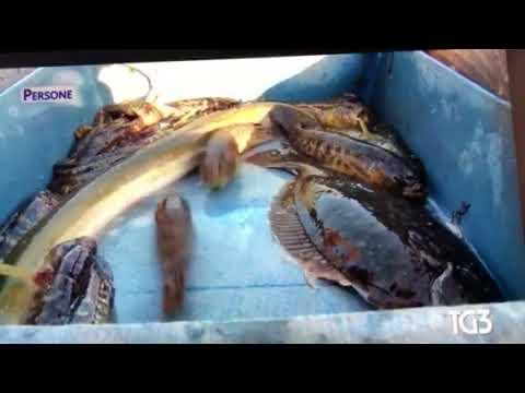 Pesca di capriolo video
