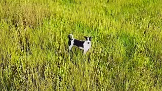 Drönare - American toy fox terrier
