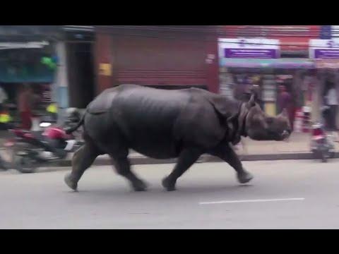 Ρινόκερος τρομοκρατεί πόλη του Νεπάλ [video]