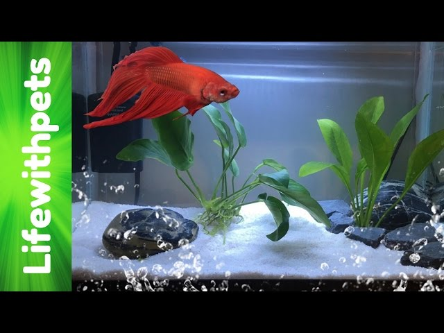 How to set up a Betta fish tank (Basic planted Betta tank)