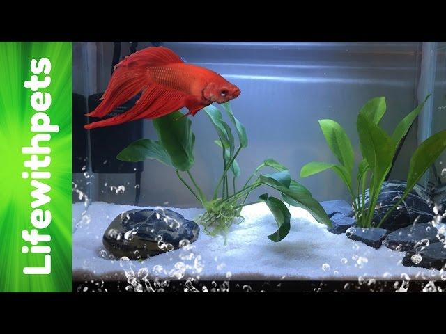 How to set up a Betta fish tank (Basic planted Betta tank)