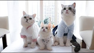 [Cat Live] Gifts for Chinese Valentine's Day: ancient cloths for cats and maid wear for my boyfriend