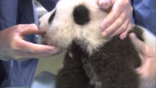 Unbearably Cute Panda Cub Exam Compilation