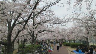 上ケ池公園 桜