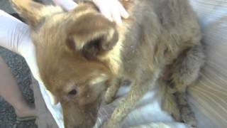 Из последних сил, изнеможённый, умирающий щенок нашёл своё спасение в приюте